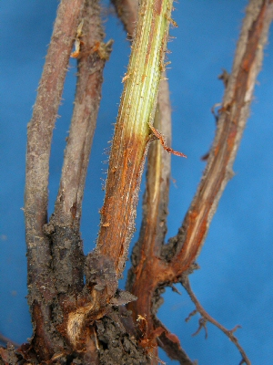 Distinct reddish brown discolouration beneath bark