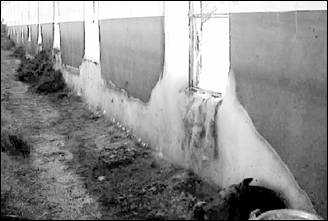 Extensive ice build up around barn windows shows the potential energy wastage and deterioration problems created by windows. (Source: Agviro, Inc.)