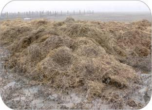 Horse manure placed directly on the soil creates large, shallow piles, which collect rainfall. The contaminated water sits at the pile base, generating odours and establishing a breeding spot for flies.