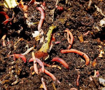 Figure 1 is a close up photo of perhaps ten red wiggler worms eating kitchen peelings.
