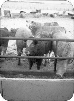 A 'western-style' soil-floored beef finishing pen, complete with wind shelter fencing and a fence-line feeder. This is an example of a permanent OCA.