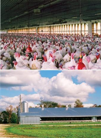 These images show a dual ventilation barn with open side curtain walls that provide natural ventilation and light, and mechnical chimney fans that provide only minimum ventilation in the winter.