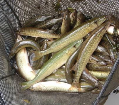 This is a picture of grass pickerel in a net, which were captured as part of the research project then released back into the Beaver Creek.