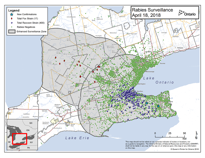 This image shows the OMNRF Wildlife Rabies Control and Surveillance Zone as of April 18, 2018. The image is a map showing the rabies control and surveillance zones surrounding the confirmed rabies cases in Ontario. The map is of an area of Southern Ontario including the following counties or regions: Hamilton, Haldimand, Halton, Perth, Oxford, Brant, Waterloo, Wellington, Middlesex, Elgin, Pell, Dufferin, Toronto, Bruce, Grey, Huron, Lambton, Durham, York, Welland, Niagara, Lake Ontario, and Lake Erie. There are now 400 confirmed raccoon strain rabies cases marked on the map since December 2015, 288 of which are located within Hamilton District. The remaining 112 cases are located in Haldimand-Norfolk County, the Niagara Region, Brant County and Halton Region. There are also 17 confirmed cases of Ontario fox strain rabies, 7 in Perth County, 4 in Huron County and 6 in Waterloo Region. A larger grey circle indicates the 50 km radius around the confirmed cases where enhanced rabies surveillance is occurring. There is a small map insert showing Southern Ontario with a red box indicating which area of Southern Ontario is zoomed in on the main map image