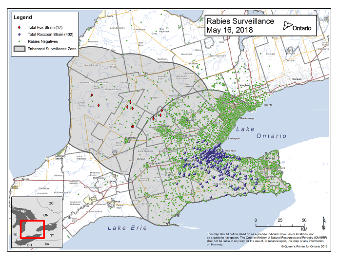 This image shows the OMNRF Wildlife Rabies Control and Surveillance Zone as of May 16, 2018. The image is a map showing the rabies control and surveillance zones surrounding the confirmed rabies cases in Ontario. The map is of an area of Southern Ontario including the following counties or regions: Hamilton, Haldimand, Halton, Perth, Oxford, Brant, Waterloo, Wellington, Middlesex, Elgin, Pell, Dufferin, Toronto, Bruce, Grey, Huron, Lambton, Durham, York, Welland, Niagara, Lake Ontario, and Lake Erie. There are now 402 confirmed raccoon strain rabies cases marked on the map since December 2015, 290 of which are located within Hamilton District. The remaining 112 cases are located in Haldimand-Norfolk County, the Niagara Region, Brant County and Halton Region. There are also 17 confirmed cases of Ontario fox strain rabies, 7 in Perth County, 4 in Huron County and 6 in Waterloo Region. A larger grey circle indicates the 50 km radius around the confirmed cases where enhanced rabies surveillance is occurring. There is a small map insert showing Southern Ontario with a red box indicating which area of Southern Ontario is zoomed in on the main map image.