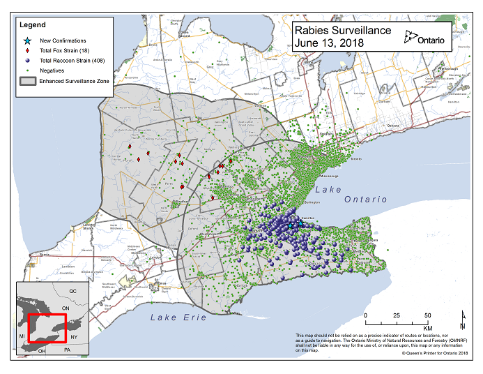 This image shows the OMNRF Wildlife Rabies Control and Surveillance Zone as of June 13, 2018. The image is a map showing the rabies control and surveillance zones surrounding the confirmed rabies cases in Ontario. The map is of an area of Southern Ontario including the following counties or regions: Hamilton, Haldimand, Halton, Perth, Oxford, Brant, Waterloo, Wellington, Middlesex, Elgin, Pell, Dufferin, Toronto, Bruce, Grey, Huron, Lambton, Durham, York, Welland, Niagara, Lake Ontario, and Lake Erie. There are now 408 confirmed raccoon strain rabies cases marked on the map since December 2015, 294 of which are located within Hamilton District. The remaining 114 cases are located in Haldimand-Norfolk County, the Niagara Region, Brant County and Halton Region. There are also 18 confirmed cases of Ontario fox strain rabies, 7 in Perth County, 4 in Huron County, 6 in Waterloo Region and 1 in Wellington-Dufferin-Guelph. A larger grey circle indicates the 50 km radius around the confirmed cases where enhanced rabies surveillance is occurring. There is a small map insert showing Southern Ontario with a red box indicating which area of Southern Ontario is zoomed in on the main map image.