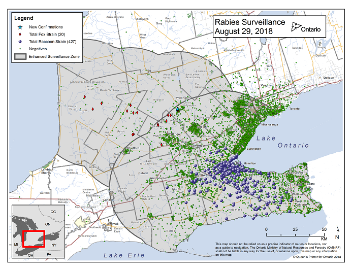 This image shows the OMNRF Wildlife Rabies Control and Surveillance Zone as of August 29, 2018. The image is a map showing the rabies control and surveillance zones surrounding the confirmed rabies cases in Ontario. The map is of an area of Southern Ontario including the following counties or regions: Hamilton, Haldimand, Halton, Perth, Oxford, Brant, Waterloo, Wellington, Middlesex, Elgin, Pell, Dufferin, Toronto, Bruce, Grey, Huron, Lambton, Durham, York, Welland, Niagara, Lake Ontario, and Lake Erie. There are now 427 confirmed raccoon strain rabies cases marked on the map since December 2015, 300 of which are located within Hamilton District. The remaining 127 cases are located in Haldimand-Norfolk County, the Niagara Region, Brant County and Halton Region. There are also 20 confirmed cases of Ontario fox strain rabies, 8 in Perth County, 4 in Huron County, 6 in Waterloo Region, 1 in Wellington-Dufferin-Guelph and 1 in Centre Wellington. A larger grey circle indicates the 50 km radius around the confirmed cases where enhanced rabies surveillance is occurring. There is a small map insert showing Southern Ontario with a red box indicating which area of Southern Ontario is zoomed in on the main map image.