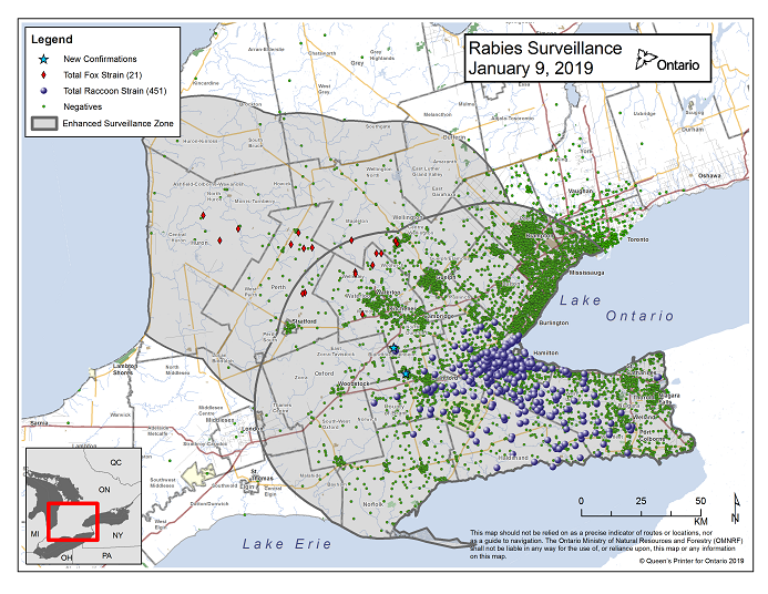This image shows the OMNRF Wildlife Rabies Control and Surveillance Zone as of January 9, 2019. The image is a map showing the rabies control and surveillance zones surrounding the confirmed rabies cases in Ontario. The map is of an area of Southern Ontario including the following counties or regions: Hamilton, Haldimand, Halton, Perth, Oxford, Brant, Waterloo, Wellington, Middlesex, Elgin, Pell, Dufferin, Toronto, Bruce, Grey, Huron, Lambton, Durham, York, Welland, Niagara, Lake Ontario, and Lake Erie. There are now 451 confirmed raccoon strain rabies cases marked on the map since December 2015, 315 of which are located within Hamilton District. The remaining 136 cases are located in Haldimand-Norfolk County, the Niagara Region, Brant County and Halton Region. There are also 21 confirmed cases of Ontario fox strain rabies, 8 in Perth County, 4 in Huron County, 6 in Waterloo Region, 3 in Wellington-Dufferin-Guelph. A larger grey circle indicates the 50 km radius around the confirmed cases where enhanced rabies surveillance is occurring. There is a small map insert showing Southern Ontario with a red box indicating which area of Southern Ontario is zoomed in on the main map image.