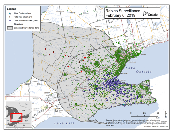 This image shows the OMNRF Wildlife Rabies Control and Surveillance Zone as of February 6, 2019. The image is a map showing the rabies control and surveillance zones surrounding the confirmed rabies cases in Ontario. The map is of an area of Southern Ontario including the following counties or regions: Hamilton, Haldimand, Halton, Perth, Oxford, Brant, Waterloo, Wellington, Middlesex, Elgin, Pell, Dufferin, Toronto, Bruce, Grey, Huron, Lambton, Durham, York, Welland, Niagara, Lake Ontario, and Lake Erie. There are now 454 confirmed raccoon strain rabies cases marked on the map since December 2015, 317 of which are located within Hamilton District. The remaining 137 cases are located in Haldimand-Norfolk County, the Niagara Region, Brant County and Halton Region. There are also 21 confirmed cases of Ontario fox strain rabies, 8 in Perth County, 4 in Huron County, 6 in Waterloo Region, 3 in Wellington-Dufferin-Guelph. A larger grey circle indicates the 50 km radius around the confirmed cases where enhanced rabies surveillance is occurring. There is a small map insert showing Southern Ontario with a red box indicating which area of Southern Ontario is zoomed in on the main map image.