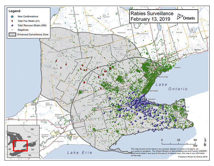 This image shows the OMNRF Wildlife Rabies Control and Surveillance Zone as of February 13, 2019. The image is a map showing the rabies control and surveillance zones surrounding the confirmed rabies cases in Ontario. The map is of an area of Southern Ontario including the following counties or regions: Hamilton, Haldimand, Halton, Perth, Oxford, Brant, Waterloo, Wellington, Middlesex, Elgin, Pell, Dufferin, Toronto, Bruce, Grey, Huron, Lambton, Durham, York, Welland, Niagara, Lake Ontario, and Lake Erie. There are now 456 confirmed raccoon strain rabies cases marked on the map since December 2015, 319 of which are located within Hamilton District. The remaining 137 cases are located in Haldimand-Norfolk County, the Niagara Region, Brant County and Halton Region. There are also 21 confirmed cases of Ontario fox strain rabies, 8 in Perth County, 4 in Huron County, 6 in Waterloo Region, 3 in Wellington-Dufferin-Guelph. A larger grey circle indicates the 50 km radius around the confirmed cases where enhanced rabies surveillance is occurring. There is a small map insert showing Southern Ontario with a red box indicating which area of Southern Ontario is zoomed in on the main map image.