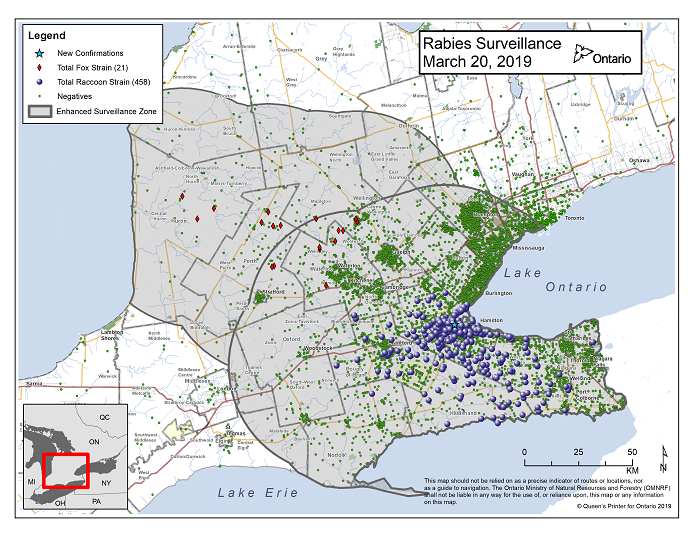 This image shows the OMNRF Wildlife Rabies Control and Surveillance Zone as of March 20, 2019. The image is a map showing the rabies control and surveillance zones surrounding the confirmed rabies cases in Ontario. The map is of an area of Southern Ontario including the following counties or regions: Hamilton, Haldimand, Halton, Perth, Oxford, Brant, Waterloo, Wellington, Middlesex, Elgin, Pell, Dufferin, Toronto, Bruce, Grey, Huron, Lambton, Durham, York, Welland, Niagara, Lake Ontario, and Lake Erie. There are now 458 confirmed raccoon strain rabies cases marked on the map since December 2015, 320 of which are located within Hamilton District. The remaining 138 cases are located in Haldimand-Norfolk County, the Niagara Region, Brant County and Halton Region. There are also 21 confirmed cases of Ontario fox strain rabies, 8 in Perth County, 4 in Huron County, 6 in Waterloo Region, 3 in Wellington-Dufferin-Guelph. A larger grey circle indicates the 50 km radius around the confirmed cases where enhanced rabies surveillance is occurring. There is a small map insert showing Southern Ontario with a red box indicating which area of Southern Ontario is zoomed in on the main map image.