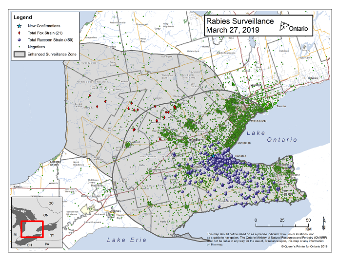 This image shows the OMNRF Wildlife Rabies Control and Surveillance Zone as of March 20, 2019. The image is a map showing the rabies control and surveillance zones surrounding the confirmed rabies cases in Ontario. The map is of an area of Southern Ontario including the following counties or regions: Hamilton, Haldimand, Halton, Perth, Oxford, Brant, Waterloo, Wellington, Middlesex, Elgin, Pell, Dufferin, Toronto, Bruce, Grey, Huron, Lambton, Durham, York, Welland, Niagara, Lake Ontario, and Lake Erie. There are now 459 confirmed raccoon strain rabies cases marked on the map since December 2015, 321 of which are located within Hamilton District. The remaining 138 cases are located in Haldimand-Norfolk County, the Niagara Region, Brant County and Halton Region. There are also 21 confirmed cases of Ontario fox strain rabies, 8 in Perth County, 4 in Huron County, 6 in Waterloo Region, 3 in Wellington-Dufferin-Guelph. A larger grey circle indicates the 50 km radius around the confirmed cases where enhanced rabies surveillance is occurring. There is a small map insert showing Southern Ontario with a red box indicating which area of Southern Ontario is zoomed in on the main map image.