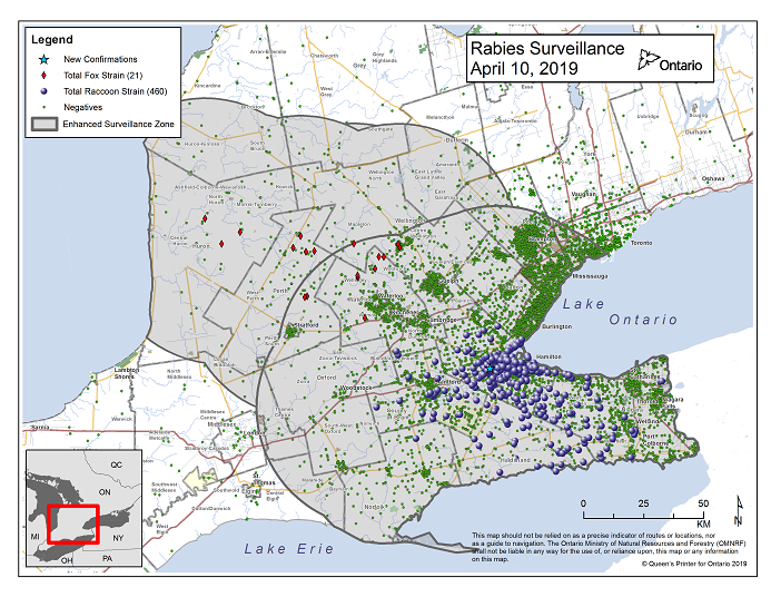 This image shows the OMNRF Wildlife Rabies Control and Surveillance Zone as of April 10, 2019. The image is a map showing the rabies control and surveillance zones surrounding the confirmed rabies cases in Ontario. The map is of an area of Southern Ontario including the following counties or regions: Hamilton, Haldimand, Halton, Perth, Oxford, Brant, Waterloo, Wellington, Middlesex, Elgin, Pell, Dufferin, Toronto, Bruce, Grey, Huron, Lambton, Durham, York, Welland, Niagara, Lake Ontario, and Lake Erie. There are now 460 confirmed raccoon strain rabies cases marked on the map since December 2015, 322 of which are located within Hamilton District. The remaining 138 cases are located in Haldimand-Norfolk County, the Niagara Region, Brant County and Halton Region. There are also 21 confirmed cases of Ontario fox strain rabies, 8 in Perth County, 4 in Huron County, 6 in Waterloo Region, 3 in Wellington-Dufferin-Guelph. A larger grey circle indicates the 50 km radius around the confirmed cases where enhanced rabies surveillance is occurring. There is a small map insert showing Southern Ontario with a red box indicating which area of Southern Ontario is zoomed in on the main map image.