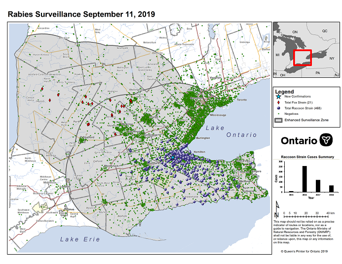 This image shows the OMNRF Wildlife Rabies Control and Surveillance Zone as of September 11, 2019. The image is a map showing the rabies control and surveillance zones surrounding the confirmed rabies cases in Ontario. The map is of an area of Southern Ontario including the following counties or regions: Hamilton, Haldimand, Halton, Perth, Oxford, Brant, Waterloo, Wellington, Middlesex, Elgin, Pell, Dufferin, Toronto, Bruce, Grey, Huron, Lambton, Durham, York, Welland, Niagara, Lake Ontario, and Lake Erie. There are now 468 confirmed raccoon strain rabies cases marked on the map since December 2015, 329 of which are located within Hamilton District. The remaining 139 cases are located in Haldimand-Norfolk County, the Niagara Region, Brant County and Halton Region. There are also 21 confirmed cases of Ontario fox strain rabies, 8 in Perth County, 4 in Huron County, 6 in Waterloo Region, 3 in Wellington-Dufferin-Guelph. A larger grey circle indicates the 50 km radius around the confirmed cases where enhanced rabies surveillance is occurring. There is a small map insert showing Southern Ontario with a red box indicating which area of Southern Ontario is zoomed in on the main map image.
