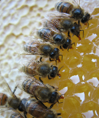 Overview of Beekeeping Regulations in Ontario: What you