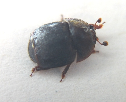 small hive beetle adult