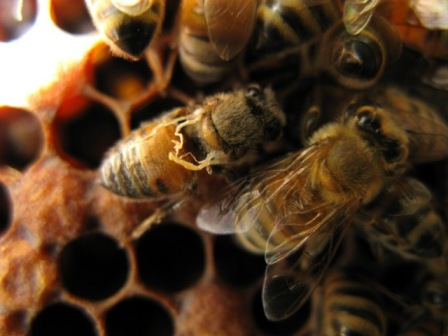 Worker bee infected with deformed wing virus (on left)