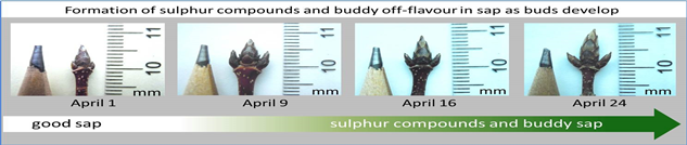 Formation of sulphur compounds and buddy off-flavour in sap as buds develop