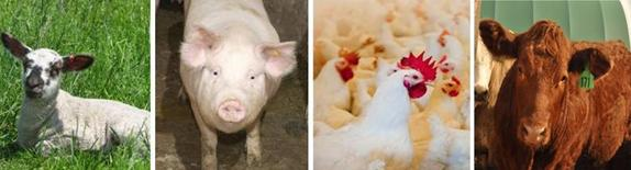 A photo divided into 4 sectors; each section having an individual sheep, pig, chicken and cattle