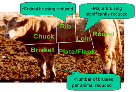 Graphic showing the effect of livestock safety cushions on bruise location and severity