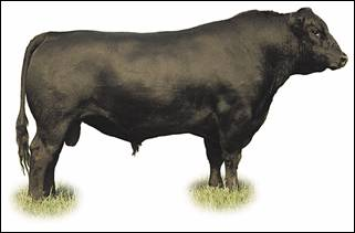 Image of Angus bull: solid black colour