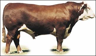 Image of Hereford bull