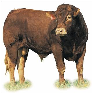 Image of Limousin bull: dark red
