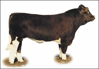 Image of Maine-Anjou bull