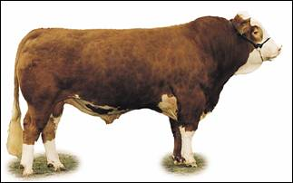 Image of Simmental bull: dark red with white