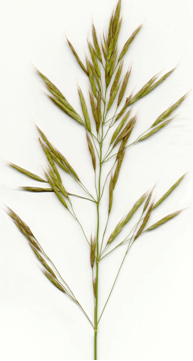 Photo of smooth bromegrass which varies in colour from light to dark green.  It has brownish, blunt-tipped rhizomes covered with brown sale-like sheaths and forms and open sod.