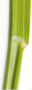 Photo of the smooth bromegrass collar, light green in colour flat like characteristics