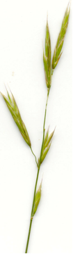 Photo of meadow gromegrass with a number of light green, hairy leaves.