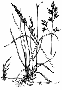 Illustration of creeping red fescue which is very slender and bristle-like leaves