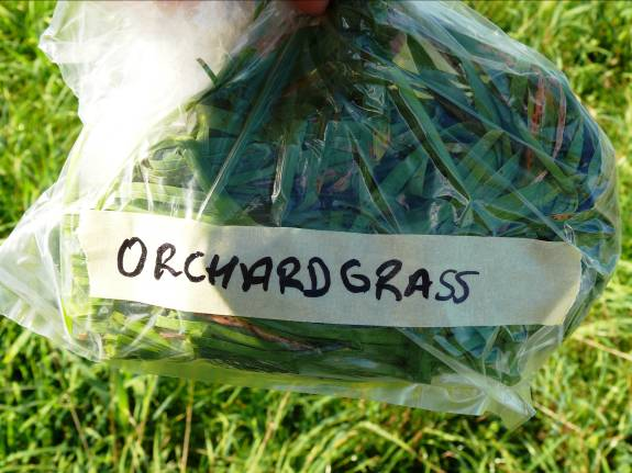 Sample of orchard grass in a plastic bag showing amount to be collected.