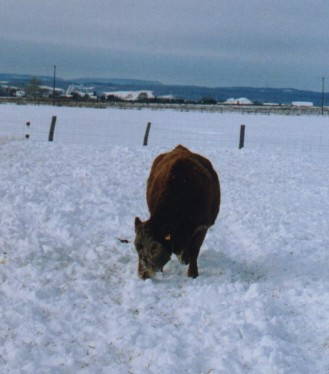 Cow grazing in a snow covered field