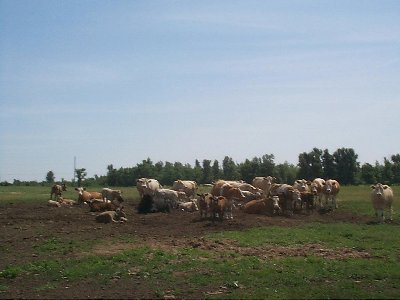 Herd of cattle on pasture