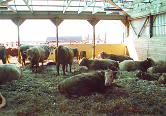Group of beef cows lying on straw in an open front building