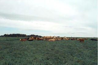 Beef cows lying down outside on pasture
