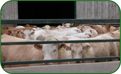 Feedlot cattle can utilize corn processing co-products effectively