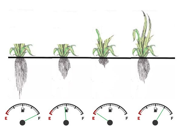 Root carbohydrate reserves change during grass regrowth