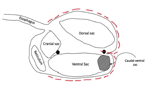 Rumen dissection technique and papillae sampling location. Red dotted line is place of incision for dissection.