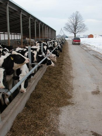 photo showing cows fence-line feeding