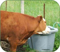 Cow at water trough
