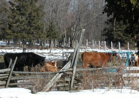 Photo with cows in a sheltered wintering site