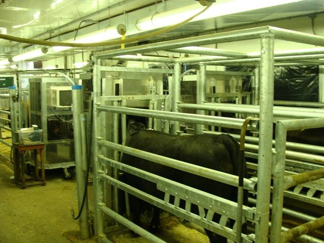Photo of Feedlot steers in individual stalls for 24h continuous gasses assessment at Elora Beef Research Center, University of Guelph.