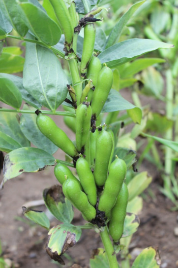 Faba Beans As Protein In Livestock Feed