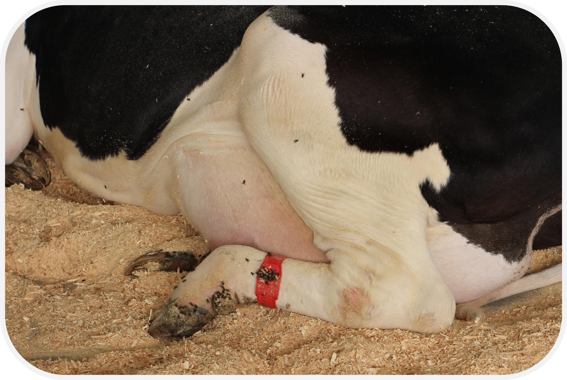 dairy cow with red band on back leg