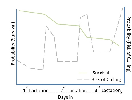 Probability of survival and risk of culling for German Holstein as reported by Heise et al., 2015 for 1st, 2nd and 3rd lactation.