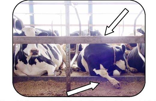 Figure 14 is a photo looking into the front of two free stalls with cows facing the camera. One cow is resting with her head turned back against her flank and her front leg extended over a plastic brisket locator. The stalls face a feed ally and a deterrent board has been attached to the mounting posts for the loops. This deterrent prevents cows from exiting through the front when rising or entering from the alley in front of the stalls. .
