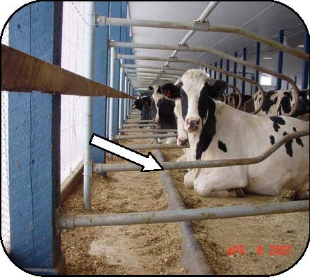 Figure 15 is a side view photo of a Holstein cow resting in free stall with a 10-foot platform facing an outside wall. The figure draws attention to the plastic brisket locator and the bottom pipe of the stall divider loop. A space of 5 inches between the top of the brisket locator and the bottom pipe of the loop is essential avoid entrapment of a leg. A cow-friendly brisket locator has a smoothed surface and attaches to the stall platform, not the loops.